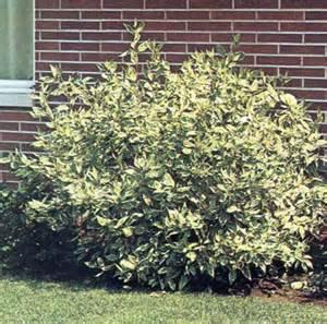 Silver Leaf Dogwood Shrub
