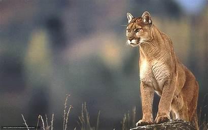 Windows Lion Mountain 98 4k Wallpapers Cougar