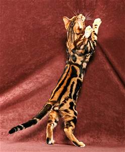 Classic Tabbies vs. Marble Bengals