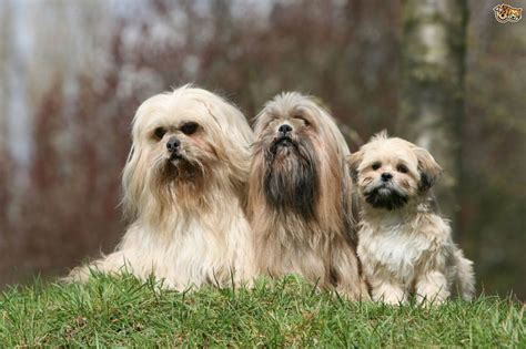 lhasa apso dog breed information buying advice photos