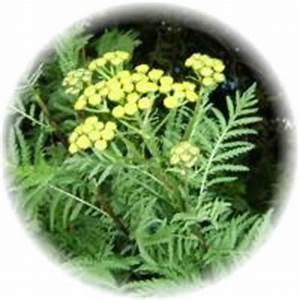 tansy tea abortion