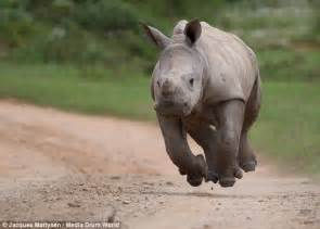 Baby rhino that survived attack on its pregnant mother is ...