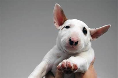 Bull Terrier Miniature Breeds Facts Temperament