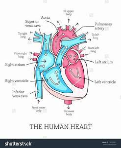 Diagram  Vintage Red Real Heart Diagram