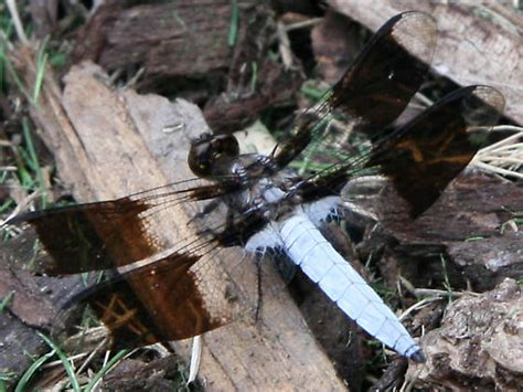 Four Winged White Body Flying Insect That Looks Like A