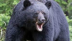 Two Canadians Killed By  U2018flying Bear U2019