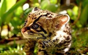 Cute Baby Ocelot Kittens
