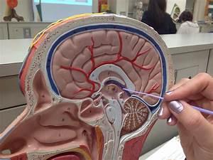 Anatomy  U0026 Physiology 210  U0026gt  Mc Cormick  U0026gt  Flashcards
