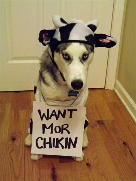 costumes  prove huskies  win  halloween