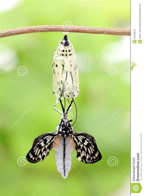 butterfly change form chrysalis stock photography image