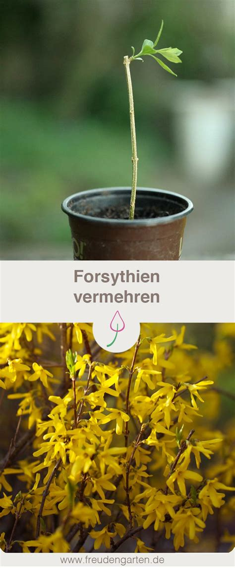 vermehrung kirschlorbeer forsythien vermehren gr 252 nzeug2 garten garten pflanzen und gartentipps