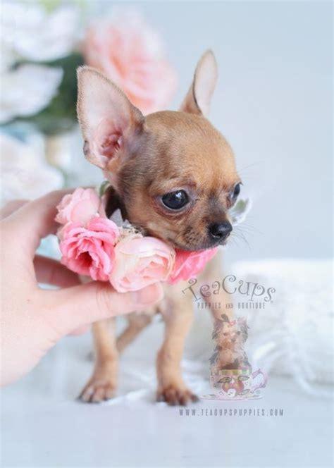 tiny chihuahua puppy  sale  teacupspuppiescom