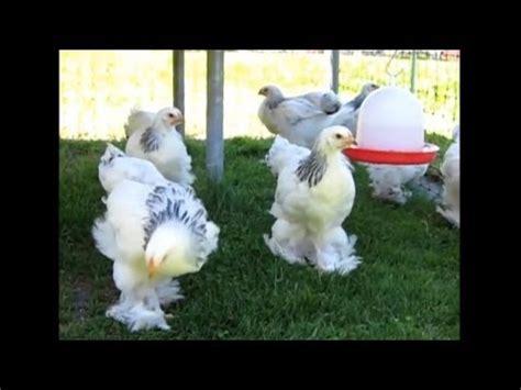 Brahmas, Die Größten Hühner  2662011 Belp Youtube
