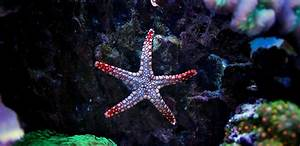 Starfish  A Complete Guide To Owning  U0026quot Sea Stars U0026quot
