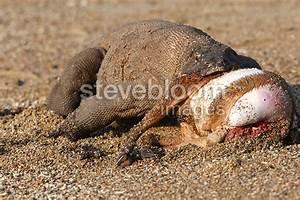 Komodo Dragons Eating