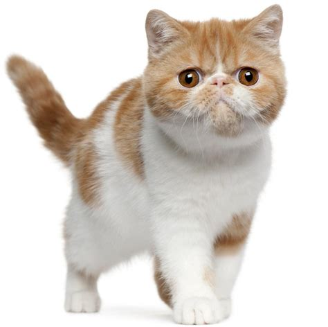 Shorthair Cat - fascinating facts about domestic shorthair cats