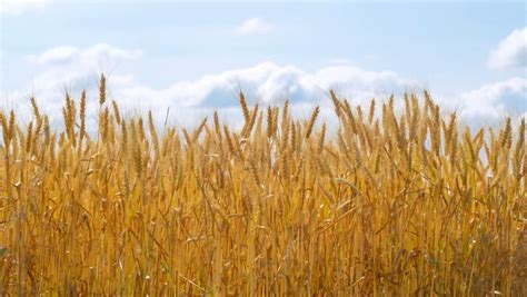 looping  animation   wheat field hd alpha included
