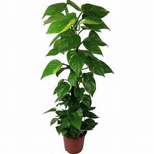 Grande Plante Verte D Intérieur : la fontaine fleurie pothos plante d 39 int rieur ~ Voncanada.com Idées de Décoration