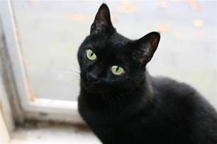 black cats black cats luck or bad luck