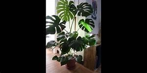 Plante Tropicale D Intérieur : en images 10 plantes d 39 int rieur rep r es sur pinterest ~ Melissatoandfro.com Idées de Décoration