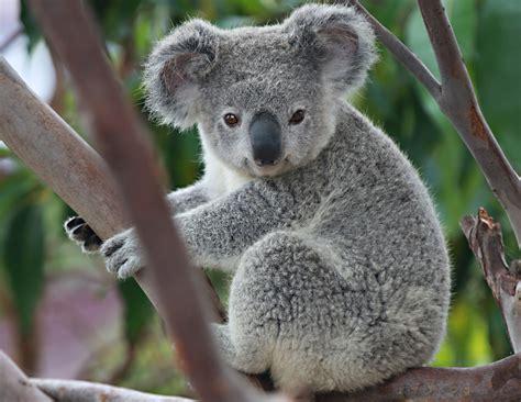 Koalas & Wombats & Wallabies, Oh My!
