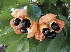 US Ackee Ban Remains In Effect Caribbean and Latin