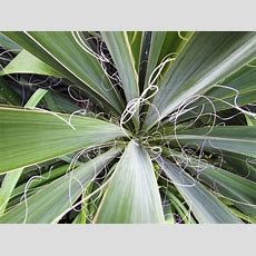 Diseases That Affect Yucca Plants And Ways To Control Them