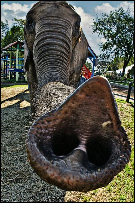 elephant trunk elephant trunk this is a true story i m walking around th flickr