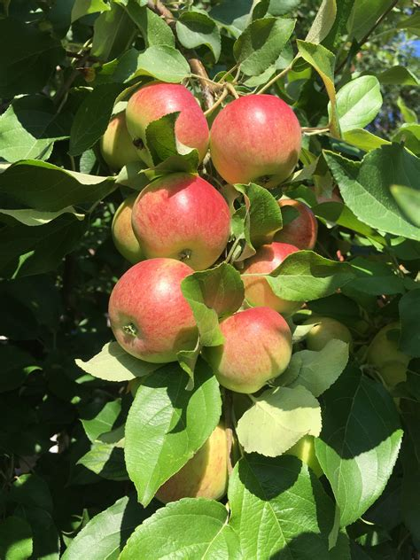 Apple Tree photos…   Mandy's Greenhouse