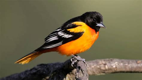 picture of a oriole bird baltimore oriole sounds calls and song