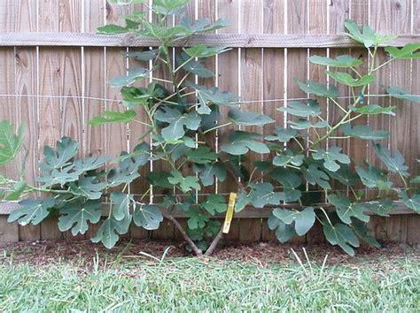 espalier fig fig tree espalier into a fan garden pinterest