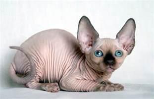 bald cat cat appreciation thread page 120