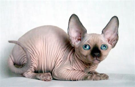 Understanding The Uniqueness Of Hairless Cat Breeds In