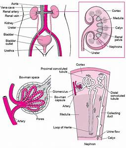 Overview Of Kidney Filtering Disorders