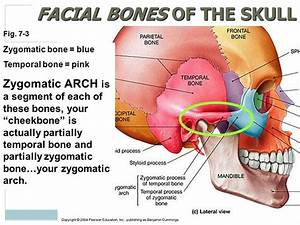 Zygomatic Arches | Diagrams for all