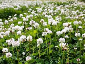 White Clover Grass Seed