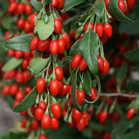 indoor plant food goji berry bush clarenbridge garden centre
