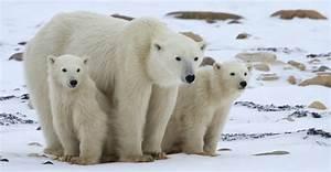 Polar Bear Viewing Churchill Polar Bears