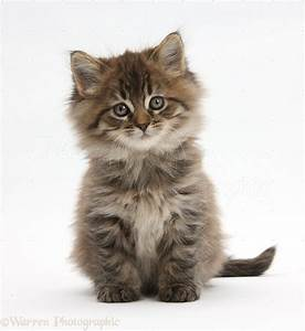 51 Very Beautiful Main Coon Kitten Pictures And Photos