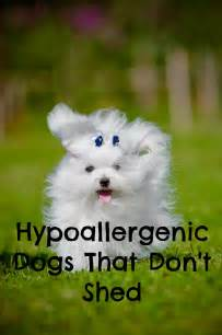 hypoallergenic dogs that don t shed dogvills