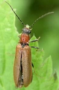 Maincourt Sur Yvette : denticollis linearis ptit brun le monde des insectes ~ Melissatoandfro.com Idées de Décoration