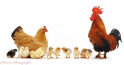 chicken rooster hen wallpaper wallpapersafari