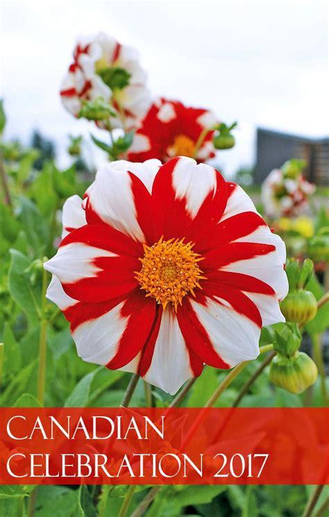 canadian celebration   unforgettable flower show dahlia