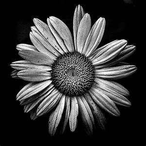 Black And White Daisy Pictures, Photos, and Images for ...