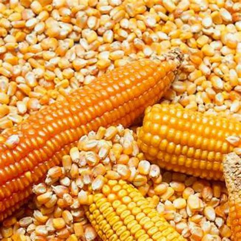 Non GMO Yellow Maize/Corn - Gross Akri Suppliers Ltd