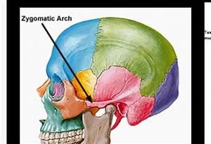 Cranial & Facial bones/landmarks at Metropolitan State ...