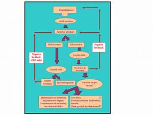 Flow Chart Of Male Reproductive System By