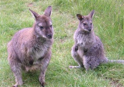 chambre d hote issoire photo élevage de myocastors et kangourous