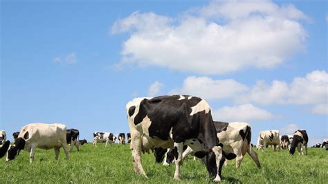dairy farm with holstein cows in pasture and three silos dairy cow wallpaper wallpapersafari