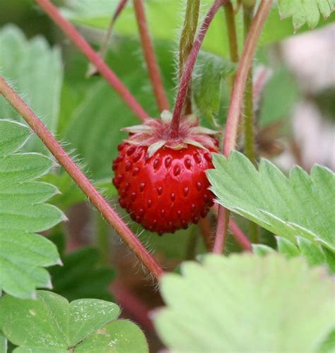 strawberry seeds how to grow strawberries from seeds